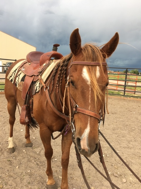 Sunny Registered Gelding For Sale Saddled