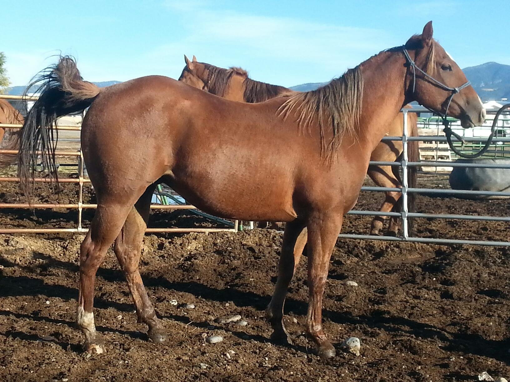 Sunny Registered Gelding For Sale Standing